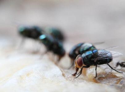Tác hại, tập tính của ruồi